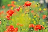 Poppy valley. The beauty of flowers