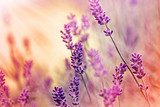 Lavender stories and dreams