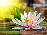 Water lily - Peace and magic